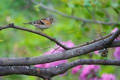 Brambling. A Brambling stands on branch. Scientific name: Fringilla montifringilla royalty free stock photo