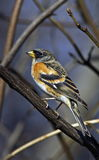 Brambling on branch Stock Images