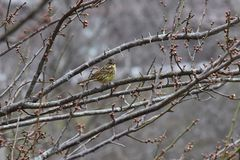 Brambling. On the branch of plum tree royalty free stock image