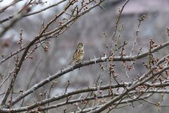 Brambling. On the branch of plum tree stock photography