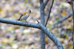Brambling. The close-up of a female Brambling stands on branch. Scientific name: Fringilla montifringilla royalty free stock images