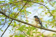 Brambling. The close-up of a male Brambling stands on branch. Scientific name: Fringilla montifringilla stock images