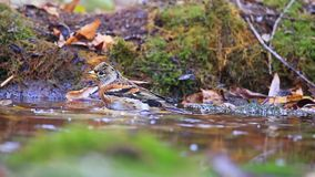Brambling, der in den Pfützen am Waldherbsttag badet stock video footage