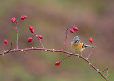 Brambling on a Dog Rose Royalty Free Stock Images