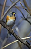 Brambling face to face Royalty Free Stock Images