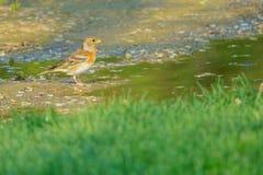 Brambling. A female Brambling stands by puddle. Scientific name: Fringilla montifringilla royalty free stock image