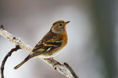 Brambling female perched on a branch. Of birch in winter Royalty Free Stock Photo