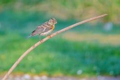 Brambling. A female Brambling stands on branch. Scientific name: Fringilla montifringilla stock photo