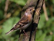 Brambling femelle sur le tronçon d'arbre images libres de droits