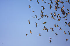 Brambling flocks Stock Photos