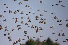 Brambling flocks Royalty Free Stock Image