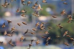 Brambling flocks Stock Photography