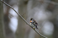 Brambling Stock Image