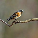 The brambling, Fringilla montifringilla male sits on a branch Stock Image