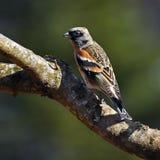 The brambling, Fringilla montifringilla male sits on a branch Stock Photos