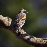 The brambling, Fringilla montifringilla male sits on a branch Royalty Free Stock Photo