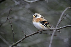 Brambling, Fringilla montifringilla Stock Photo