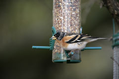 Brambling, Fringilla montifringilla Royalty Free Stock Images
