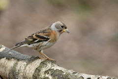 Brambling,  Fringilla montifringilla Royalty Free Stock Photo