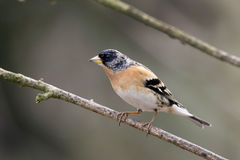 Brambling,  Fringilla montifringilla Royalty Free Stock Photos