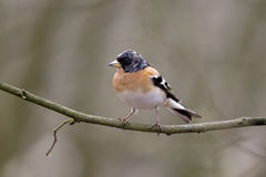 Brambling,  Fringilla montifringilla Stock Photos