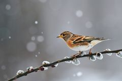 Brambling Fringilla montifringilla in winter. Beautiful brambling Fringilla montifringilla photographed in winter during a snowfal stock image