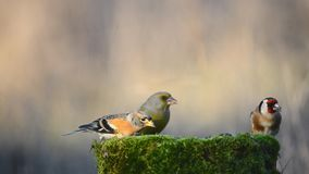 Brambling, goldfinch and European green finch sitting on the winter bird feeder stock footage