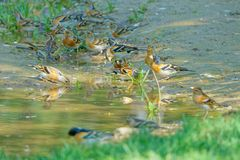 Brambling. A group of Brambling are drinking in puddle. Scientific name: Fringilla montifringilla royalty free stock images