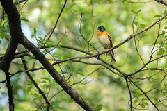 Brambling. A male Brambling stands on branch and tweets. Scientific name: Fringilla montifringilla royalty free stock photos