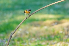 Brambling. A male Brambling stands on branch and tweets. Scientific name: Fringilla montifringilla stock photos