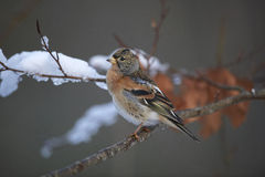Brambling, male Royalty Free Stock Images
