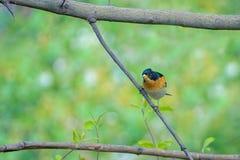 Brambling. A male Brambling stands on branch. Scientific name: Fringilla montifringilla stock images