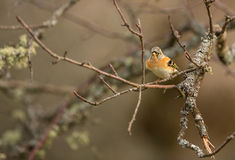 Brambling on moss-coverd branch Royalty Free Stock Images