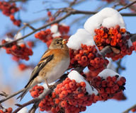 Brambling on mountain ash. Brambling on branch of mountain ash Royalty Free Stock Images