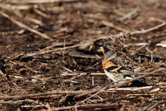 Brambling. Or mountain finch on a field in spring stock photography