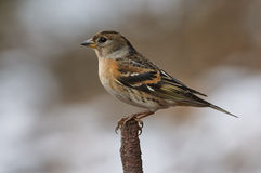 Brambling perched on a branch. Brambling female perched on a branch Royalty Free Stock Images