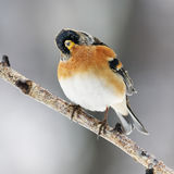 Brambling  perched on a branch Royalty Free Stock Photography