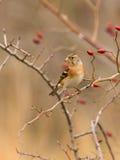 Brambling perching on branch Stock Photos
