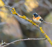 Brambling perching on lichen-covered branch Stock Photography