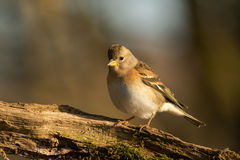 Brambling. This is a photo of a brambling royalty free stock photos