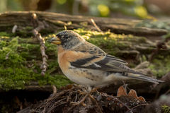 Brambling. This is a photo of a brambling royalty free stock images