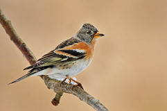 Brambling Royalty Free Stock Images
