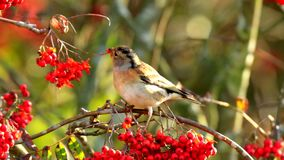 Brambling ptak, Fringilla montifringilla w zimy upierzenia ?ywieniowych jagodach, zdjęcie wideo