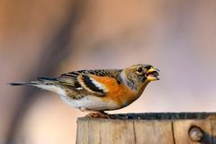 Brambling sitting on a stump with moss and eats seeds Royalty Free Stock Photography