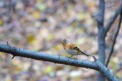 Brambling. A Brambling stands on branch. Scientific name: Fringilla montifringilla stock photos