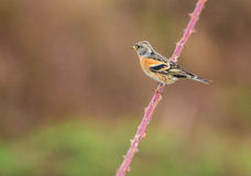 Brambling on thorny twig Stock Photos