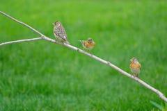 Brambling. Three female Brambling stand on branch. Scientific name: Fringilla montifringilla royalty free stock photography