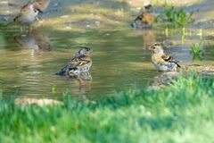 Brambling. Two Brambling look at each other in puddle. Scientific name: Fringilla montifringilla stock photography