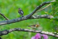 Brambling. Two female Brambling stand on branch. Scientific name: Fringilla montifringilla royalty free stock photos