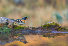 Brambling with water reflections Stock Photography